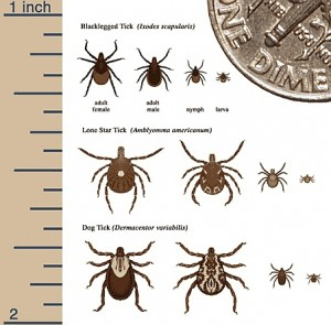 Deer_Ticks_3_species